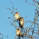 Waxwings at Pegwell Bay