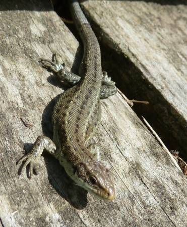 Lizard at Rainham Marshes