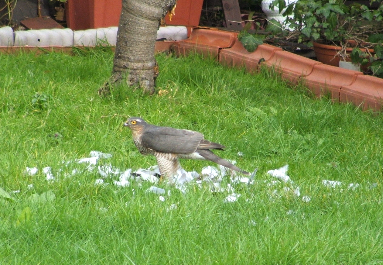 Photo given to Malcolm - Sparrowhawk with remains of collared dove