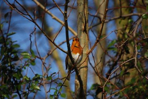 Robin above the Birdhide