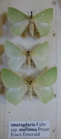 Essex Emerald Moth