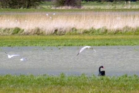 Black Swan and gulls