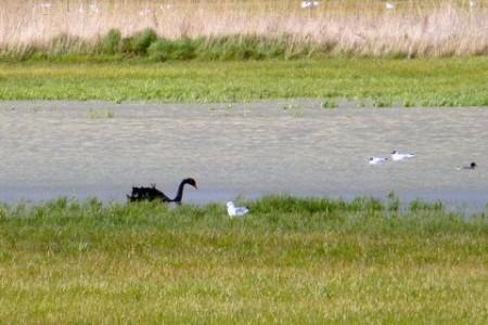 Black Swan on Chalk marshes