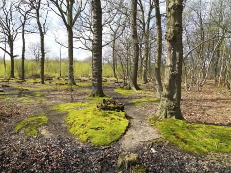 An intense green moss seen in Blean Woods