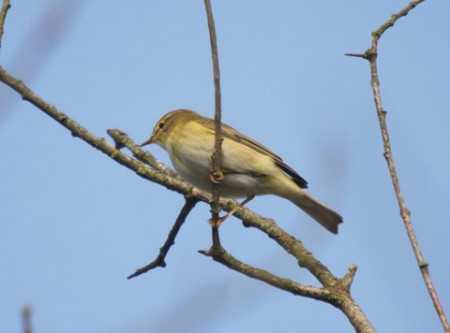 Willow warbler arrives!