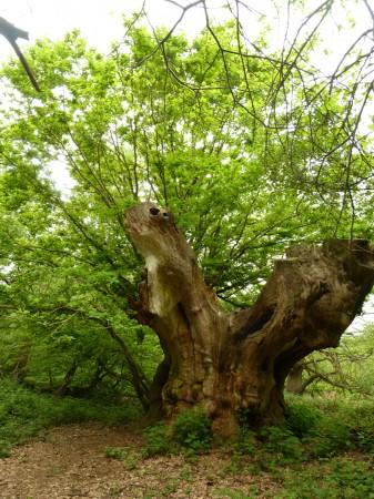 Henry VIII Oak