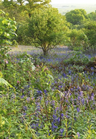 bluebells-at-northward-hill