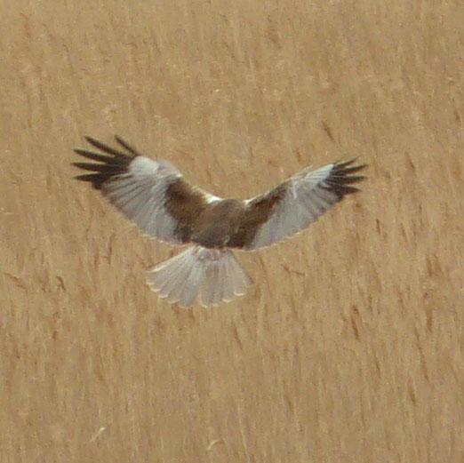 Male Marsh Harrier, Minsmere