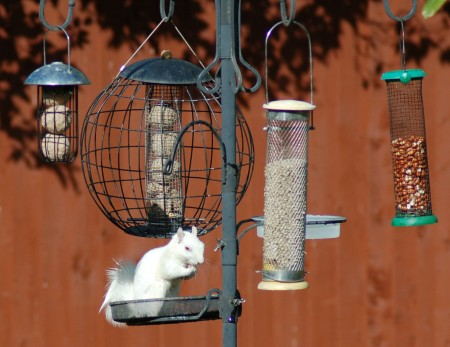albino grey squirrel 4