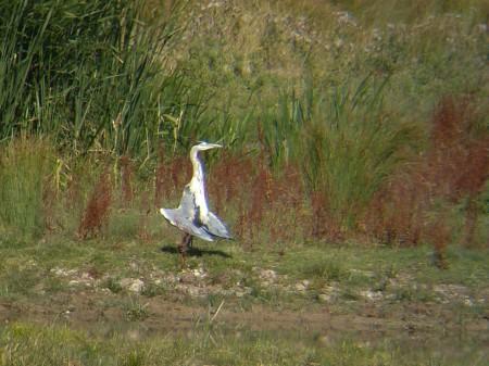 Grey Heron in odd stance