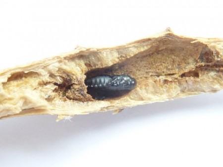 Parasitic wasp pupa inside stem,