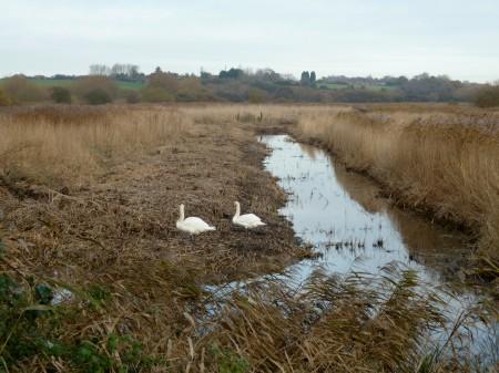 Mute Swans at Stodmarsh