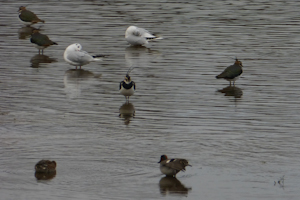 Lapwing, Teal and Black-headed Gull