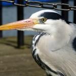 Grey Heron at Bluewater