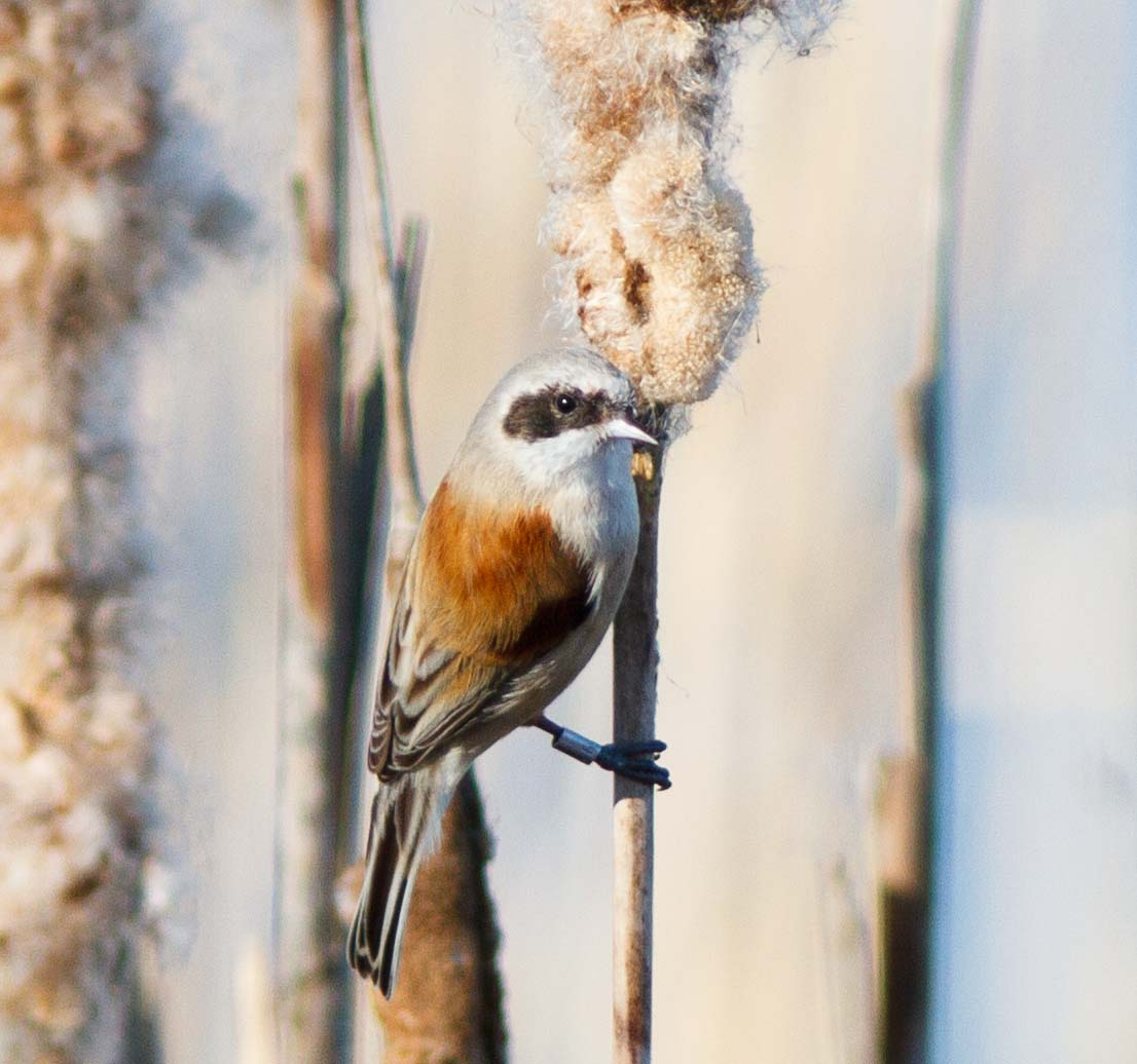 Penduline Tit by Ian Griffin