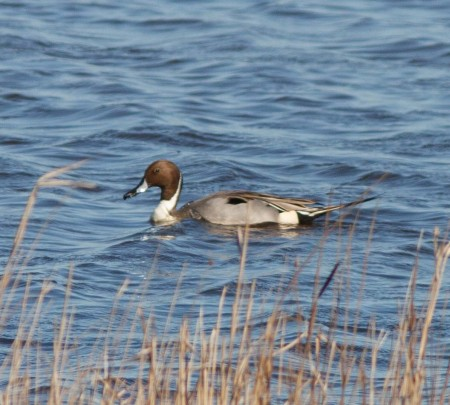 Pintail by Ian Griffin taken at Oare Marshes, 16.03.2014
