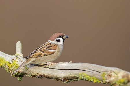 Tree Sparrow by David Featherbe