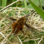 Bee Fly in the Garden