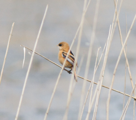 Female Bearded tit - Ian Griffin