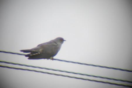 Digiscoped Cuckoo
