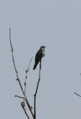 Cuckoo - Chris Peeling