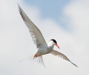 Common Tern by Ian Griffin