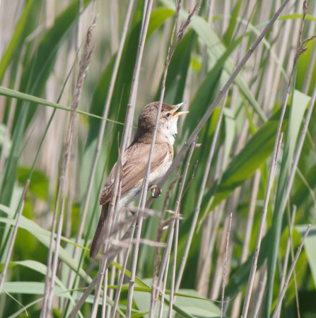 Reed Warbler by Ian Griffin