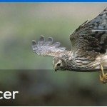 Vote for the RSPB's Hen Harrier Project!