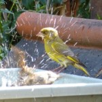 Greenfinch - Keeping Cool