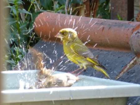 sparrow and greenfinch washing