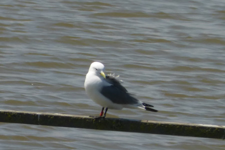 Colour-ringed Kittiwake, Orange SB