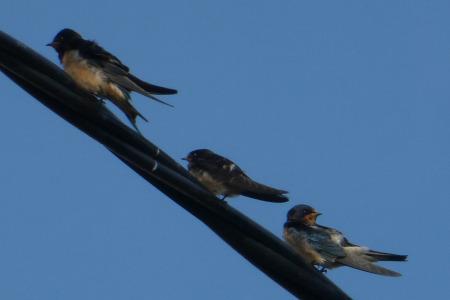 Swallows gathering