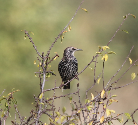 Starling by Chris Peeling