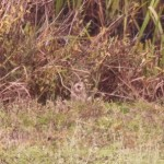Short-eared Owl at London Wetlands Centre