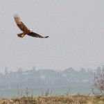 Marsh Harriers on Sheppey
