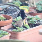 Wrens in the garden?