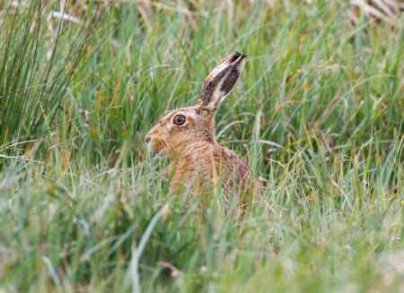 Hare taken by Ian Griffin