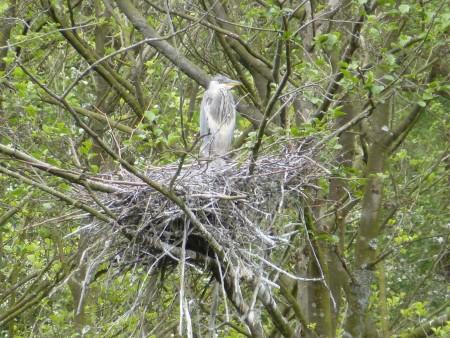 grey heron sevenoaks (3)