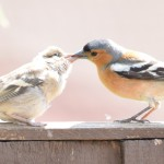 Spring Birds and Fledglings