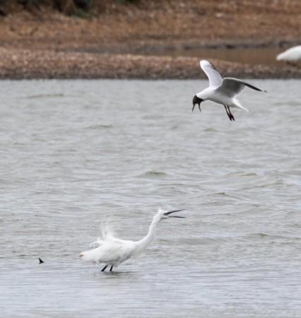 Little Egret and Black headed Gull having an exchange of views