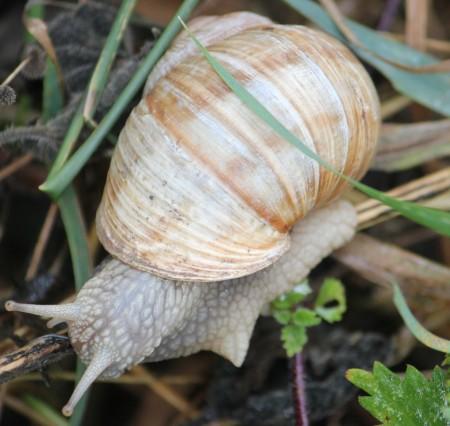roman snail_cr