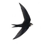 They're gone! Swifts are making their way back home