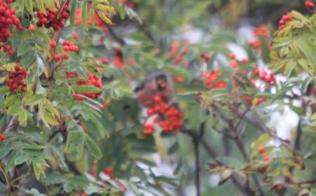 Male Bullfinch deep in Rowan tree