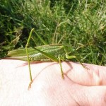 Discovering Nature - A Great Green Bush-cricket