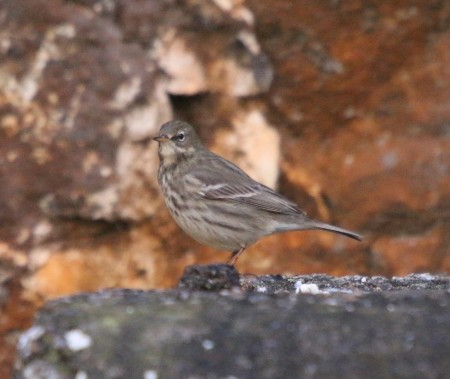 Rock Pipit at Foreness
