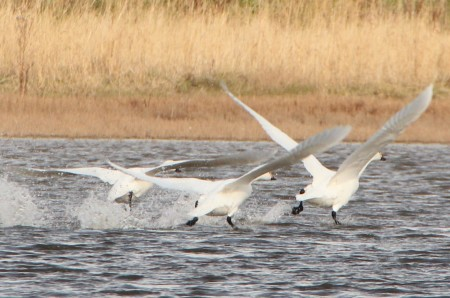 """Bewick's Swans at Cliffe"" picture by Terry Robson"