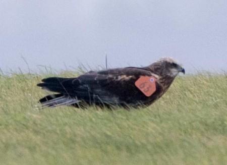 Marsh Harrier - Orange 63