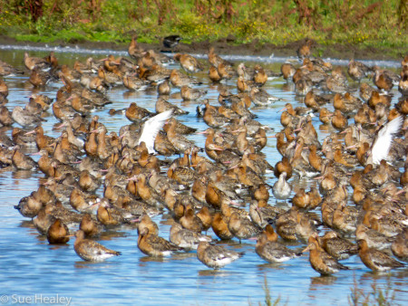 Black-tailed Godwit (© Sue Healey)