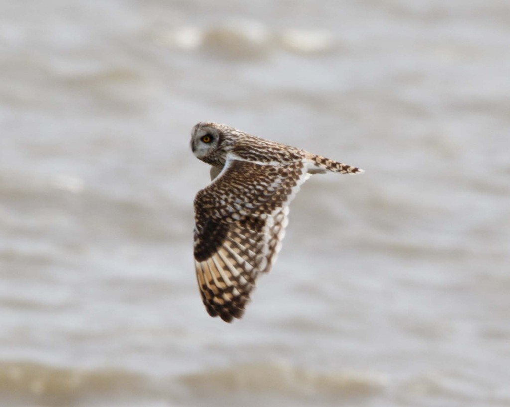 Short Eared Owl, Rainham Marshes.