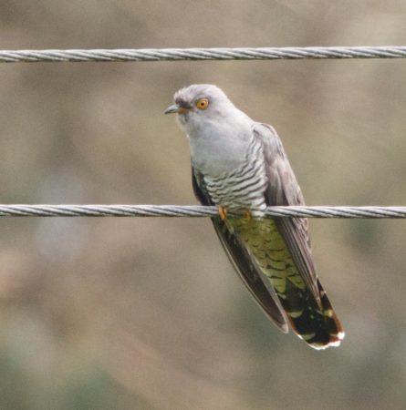 Cuckoo,   Ashdown Forrest.